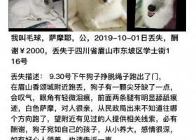 寻狗启示,四川寻萨摩弟弟,求好心人转发,它是一只非常可爱的宠物狗狗,希望它早日回家,不要变成流浪狗。