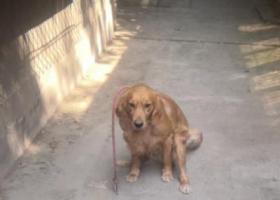 寻狗启示,翔翼路丢失金毛犬,望有心人告知,它是一只非常可爱的宠物狗狗,希望它早日回家,不要变成流浪狗。