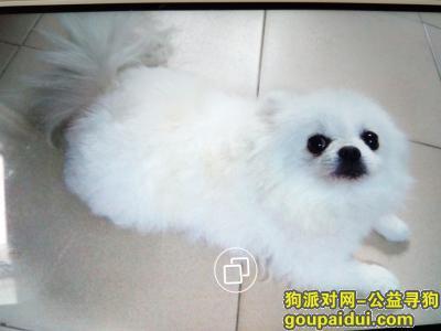 ,重金寻白色博美犬,8岁,它是一只非常可爱的宠物狗狗,希望它早日回家,不要变成流浪狗。