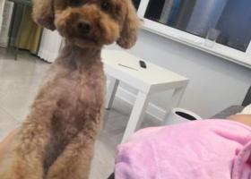 寻狗启示,酬谢1000元,19年10月2日丢失泰迪,它是一只非常可爱的宠物狗狗,希望它早日回家,不要变成流浪狗。
