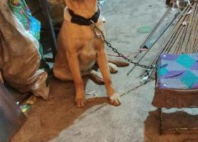 寻狗启示,酬金1000元找爱犬小米,它是一只非常可爱的宠物狗狗,希望它早日回家,不要变成流浪狗。