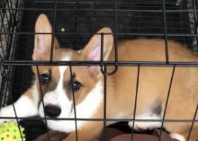 寻狗启示,半岁柯基走丢 好心人帮忙找找 酬金4千,它是一只非常可爱的宠物狗狗,希望它早日回家,不要变成流浪狗。