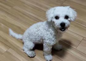寻狗启示,2019.10.6下午丢失。6个月大,杂交比熊,名字:哎嗨   男狗狗,它是一只非常可爱的宠物狗狗,希望它早日回家,不要变成流浪狗。