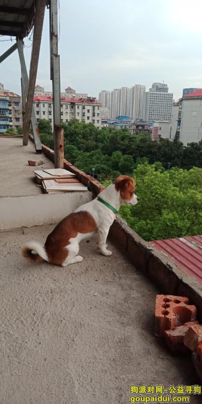 九江寻狗启示,我的狗狗掉了,希望好心人帮我找找,它是一只非常可爱的宠物狗狗,希望它早日回家,不要变成流浪狗。