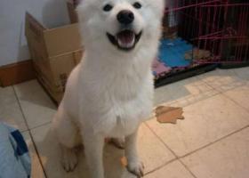 寻狗启示,寻找萨摩耶犬–名字叫雪糕 1岁雄性,它是一只非常可爱的宠物狗狗,希望它早日回家,不要变成流浪狗。