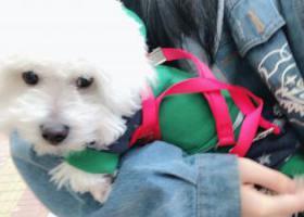 寻狗启示,温岭大溪宜桥村跑出去丢失,它是一只非常可爱的宠物狗狗,希望它早日回家,不要变成流浪狗。