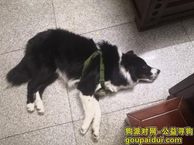 【南宁捡到狗】,本人9月份捡到边牧一只,它是一只非常可爱的宠物狗狗,希望它早日回家,不要变成流浪狗。