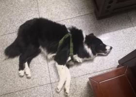 寻狗启示,本人9月份捡到边牧一只,它是一只非常可爱的宠物狗狗,希望它早日回家,不要变成流浪狗。