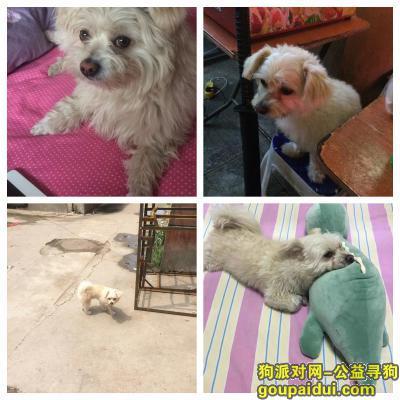 ,桥西体育馆10月1日晚上10点半丢失 白中泛黄卷毛小狗,它是一只非常可爱的宠物狗狗,希望它早日回家,不要变成流浪狗。