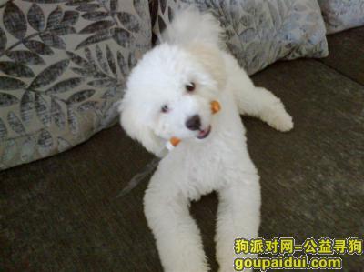 乐山找狗,白色比熊走丢几年了。,它是一只非常可爱的宠物狗狗,希望它早日回家,不要变成流浪狗。