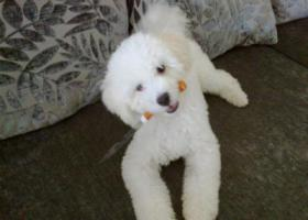 寻狗启示,白色比熊走丢几年了。,它是一只非常可爱的宠物狗狗,希望它早日回家,不要变成流浪狗。