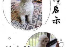 泰迪狗小白在汉口江滩边被人抱走