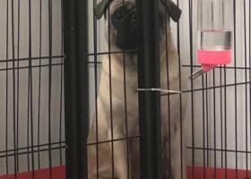 巴哥公犬二岁半名叫崽崽6号晚上在萧山区瓜沥镇前兴村丢失