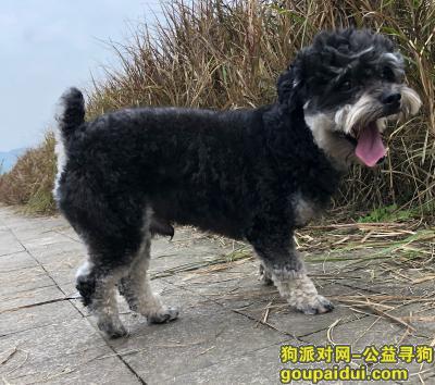 寻狗启示,雪纳瑞狗狗走丢了,希望大家留意一下,它是一只非常可爱的宠物狗狗,希望它早日回家,不要变成流浪狗。