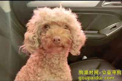 大同寻狗启示,山西大同寻母泰迪 怀孕了,它是一只非常可爱的宠物狗狗,希望它早日回家,不要变成流浪狗。