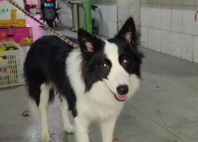 寻狗启示,请帮助大奔回家,非常感谢????,它是一只非常可爱的宠物狗狗,希望它早日回家,不要变成流浪狗。
