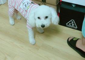 寻狗启示,公比熊 走丢的时候就是穿着图片上的衣服,它是一只非常可爱的宠物狗狗,希望它早日回家,不要变成流浪狗。
