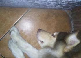 寻狗启示,石坪桥附近捡棕色阿拉斯加一只。,它是一只非常可爱的宠物狗狗,希望它早日回家,不要变成流浪狗。