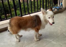 寻狗启示,不小心捡到狗一只,找失主,它是一只非常可爱的宠物狗狗,希望它早日回家,不要变成流浪狗。