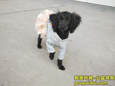 ,寻找一只走失的黑色泰迪黑妞,它是一只非常可爱的宠物狗狗,希望它早日回家,不要变成流浪狗。