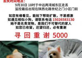 寻狗启示,上海中远两湾城东区酬谢五千元寻找白色博美,它是一只非常可爱的宠物狗狗,希望它早日回家,不要变成流浪狗。