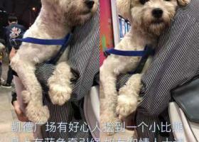 寻狗启示,凯德广场捡到一个比熊有蓝色绳子,它是一只非常可爱的宠物狗狗,希望它早日回家,不要变成流浪狗。
