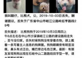 寻狗启示,中山市10月3日丢失比熊公犬一只,它是一只非常可爱的宠物狗狗,希望它早日回家,不要变成流浪狗。