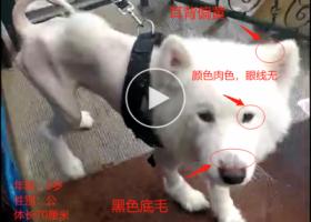 寻狗启示,重金寻狗,公萨摩,2019年8月丢失,它是一只非常可爱的宠物狗狗,希望它早日回家,不要变成流浪狗。