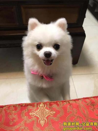 ,湛江市霞山区海景小区酬谢三千元寻找白色博美,它是一只非常可爱的宠物狗狗,希望它早日回家,不要变成流浪狗。
