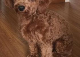 寻狗启示,寻找青岛黄岛丢失的棕色泰迪狗,它是一只非常可爱的宠物狗狗,希望它早日回家,不要变成流浪狗。