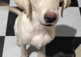 寻狗启示,我的拉不垃多昨天10月17日中午十二点从温州瓯海下屿路走丟,它是一只非常可爱的宠物狗狗,希望它早日回家,不要变成流浪狗。