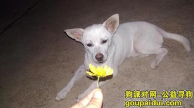 黄冈找狗,狗狗已走失8天,请大家帮忙寻狗。,它是一只非常可爱的宠物狗狗,希望它早日回家,不要变成流浪狗。