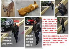 寻狗启示,寻找吉娃娃 被人偷走 有提供小狗或小偷正确线索者感谢两千元,它是一只非常可爱的宠物狗狗,希望它早日回家,不要变成流浪狗。