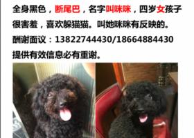 寻狗启示,广东中山东凤寻狗,9月不见了泰迪女孩子,断尾巴,它是一只非常可爱的宠物狗狗,希望它早日回家,不要变成流浪狗。