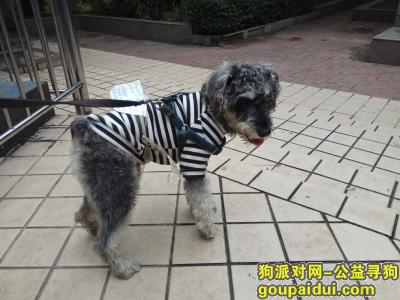 寻狗启示,捡到一只身着黑白条纹衫的雪纳瑞,它是一只非常可爱的宠物狗狗,希望它早日回家,不要变成流浪狗。