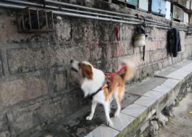 寻狗启示,寻找金色边牧,联系人,蔡先生,电话:18960787245。,它是一只非常可爱的宠物狗狗,希望它早日回家,不要变成流浪狗。