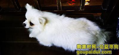 苏州寻狗启示,苏州寿桃湖附近捡到白色博美一只,它是一只非常可爱的宠物狗狗,希望它早日回家,不要变成流浪狗。