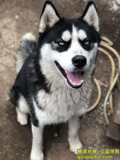 潍坊丢狗,潍坊昌邑寻哈士奇10月21日大华服装厂附近走丢,它是一只非常可爱的宠物狗狗,希望它早日回家,不要变成流浪狗。