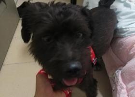 寻狗启示,黑色品种应该是雪纳瑞也不太懂狗,它是一只非常可爱的宠物狗狗,希望它早日回家,不要变成流浪狗。
