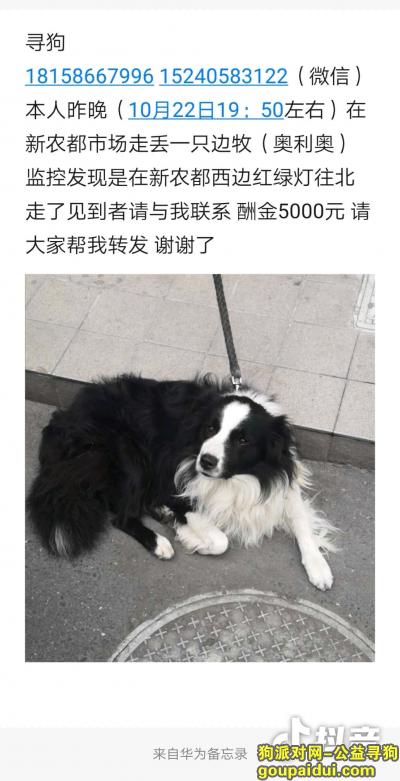 绍兴寻狗,面酬五千诸暨新农都市场附近寻边牧,它是一只非常可爱的宠物狗狗,希望它早日回家,不要变成流浪狗。
