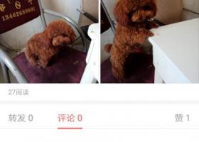 万元寻找名字叫可爱的棕色泰迪