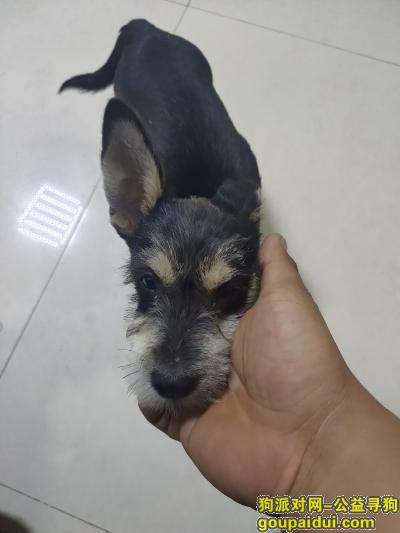 淮南寻狗启示,捡到一条狗,应该是雪纳瑞,它是一只非常可爱的宠物狗狗,希望它早日回家,不要变成流浪狗。