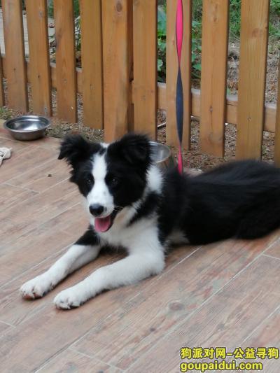 岳阳找狗,十个月公犬边牧,请发现收留的好人联系13367308788,它是一只非常可爱的宠物狗狗,希望它早日回家,不要变成流浪狗。