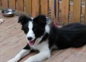 寻狗启示,十个月公犬边牧,请发现收留的好人联系13367308788,它是一只非常可爱的宠物狗狗,希望它早日回家,不要变成流浪狗。