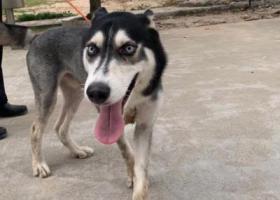 寻狗启示,白云区均禾街道、东平村附近,它是一只非常可爱的宠物狗狗,希望它早日回家,不要变成流浪狗。