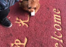 寻狗启示,无锡锡沪路创意楼寻狗-公泰迪,它是一只非常可爱的宠物狗狗,希望它早日回家,不要变成流浪狗。