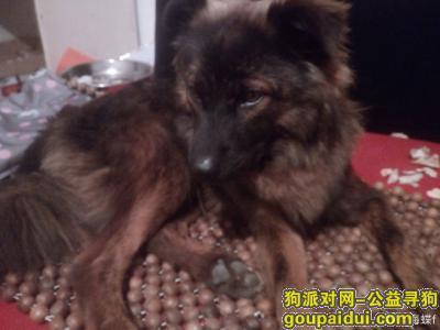 娄底找狗,娄底5000寻狗棕黑柴犬串串,它是一只非常可爱的宠物狗狗,希望它早日回家,不要变成流浪狗。