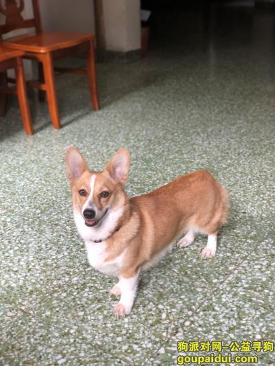 中山寻狗启示,寻柯基!汇都酒店宏基路走失!,它是一只非常可爱的宠物狗狗,希望它早日回家,不要变成流浪狗。