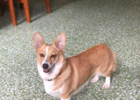 寻狗启示,寻柯基!汇都酒店宏基路走失!,它是一只非常可爱的宠物狗狗,希望它早日回家,不要变成流浪狗。