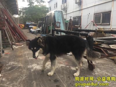 ,深圳龙华大浪华宁附近捡到阿拉斯加,它是一只非常可爱的宠物狗狗,希望它早日回家,不要变成流浪狗。